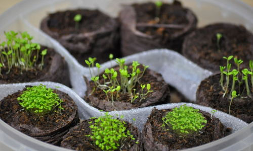 Как просто посадить петунию на рассаду