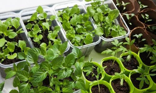 Китайский метод выращивания рассады томатов, всегда дает больше урожай