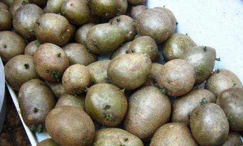 Начнете использовать такие хитрости на грядках и новый урожай картофеля станет большим