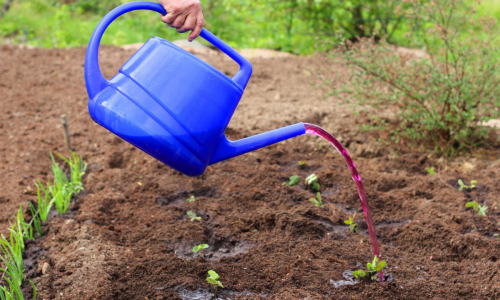 Бесполезность и вред на огороде: 7 мифов о марганцовке