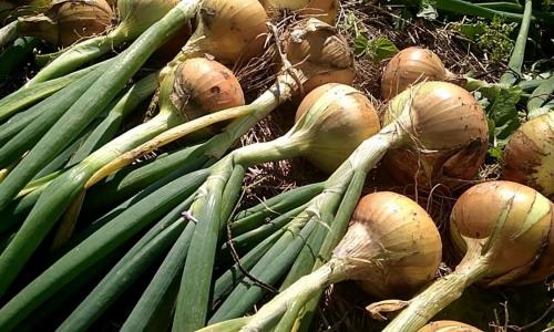 Как вырастить в два раза больший урожай лука